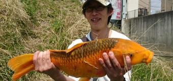 【⑧釣り部】春のデカ鯉が大漁!?釣り堀と川どっちが釣れるの?【後編】