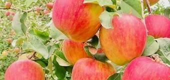 11/29(日)【🐝マルハチ会】りんごの収穫体験!〜ご購入だけもあります〜
