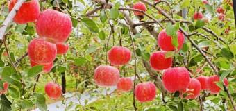 11/28(日)【🍅健康部】りんごの収穫体験!〜ご購入だけもあります〜